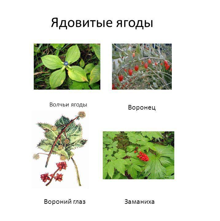 lesnye-jagody