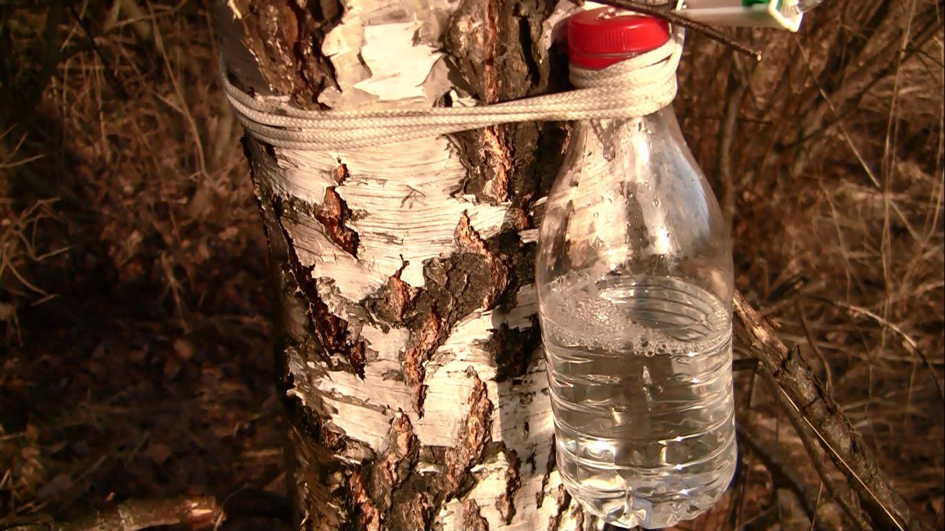 Как правильно и когда лучше собирать березовый сок