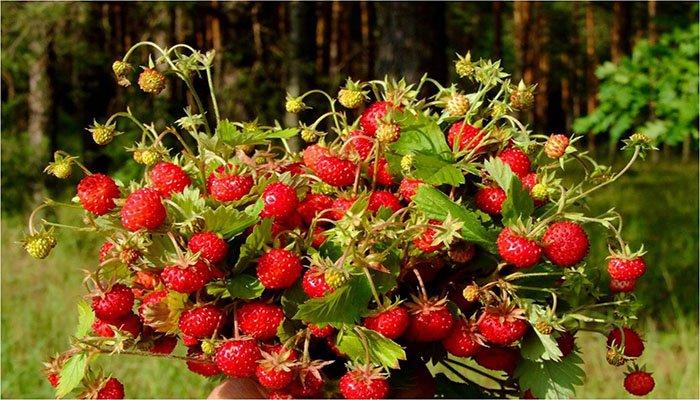 sedobnye-plody-rastenij