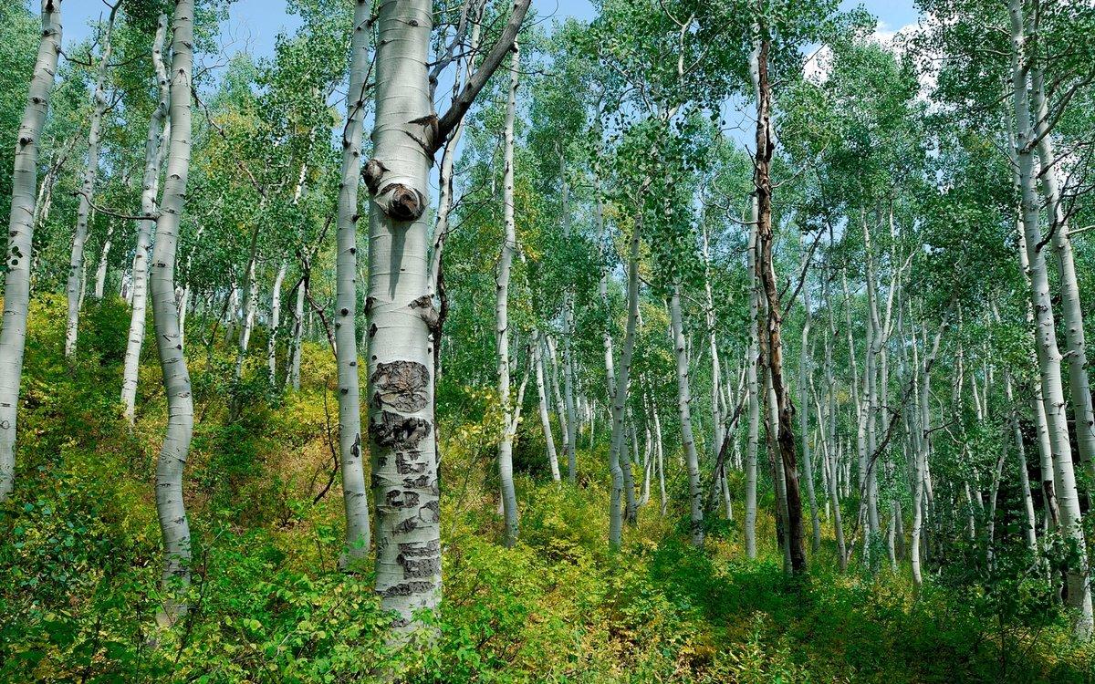 Березовый лесок