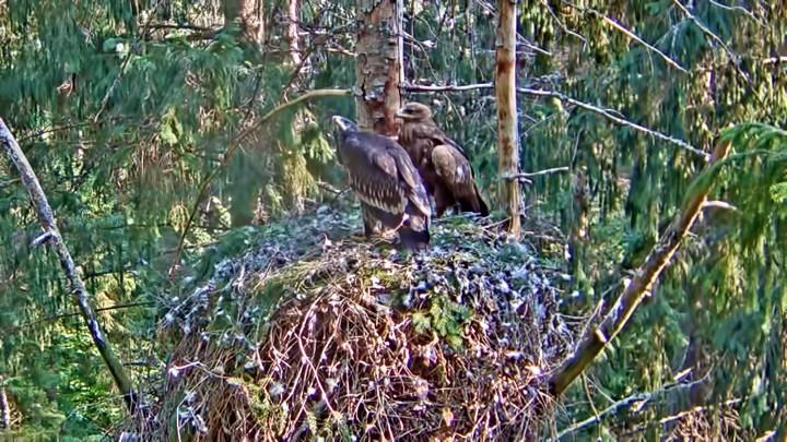 Веб-камера у гнезда большого подорлика