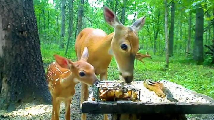 Веб-камера №3 у кормушки для оленей в Пиллиджере