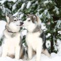 Путешествие к хаски и северным оленям - экскурсии