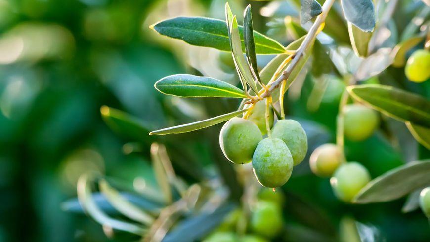 Оливковые дары Крита - экскурсии