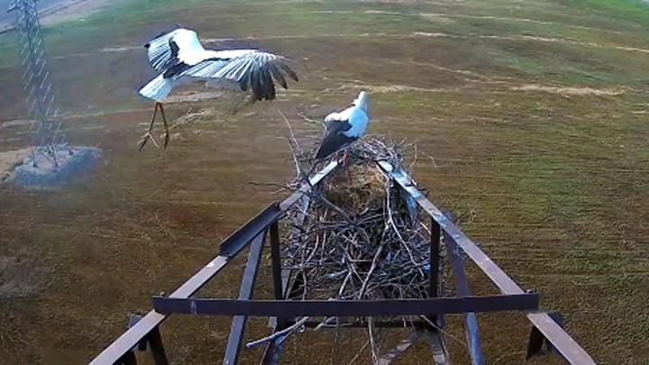 Веб-камера у гнезда дальневосточного аиста
