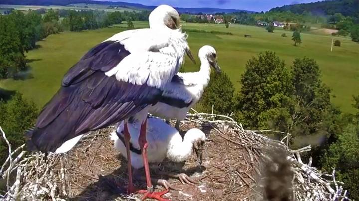 Веб-камера у гнезда аистов, Линдхайм, Германия