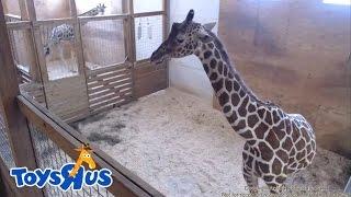 Веб-камера жирафихи Эйприл