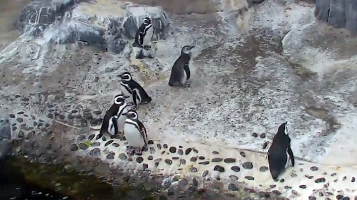Веб-камера в вольере пингвинов