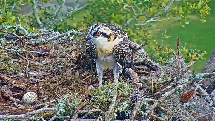 Веб-камера у гнезда скопы на Скайдауэй-Айленд, США
