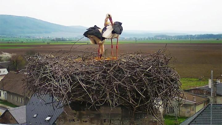 Веб-камера у гнезда аистов в деревне Длоуга Лоучка
