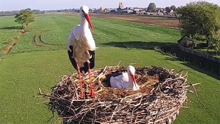 Веб-камера у гнезда аистов в селе Вризенвен, Нидерланды