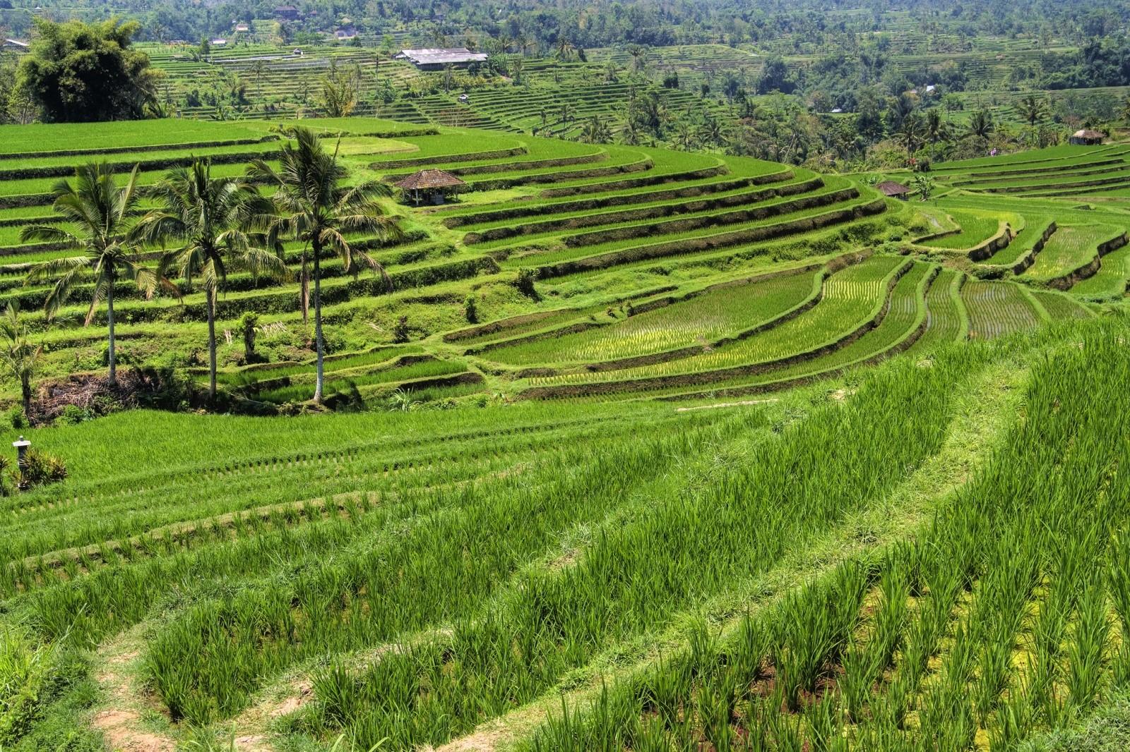 Рисовые террасы Джатилуви