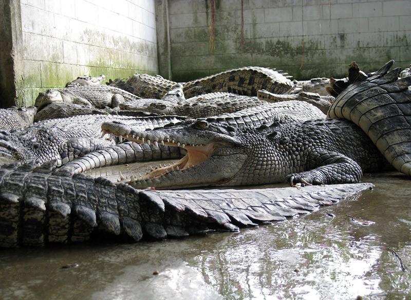 Ферма с крокодилами